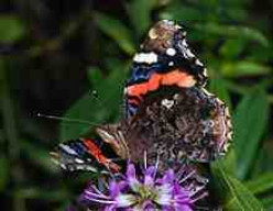 The Red Admiral (vannesa atalanta...lovely name!)