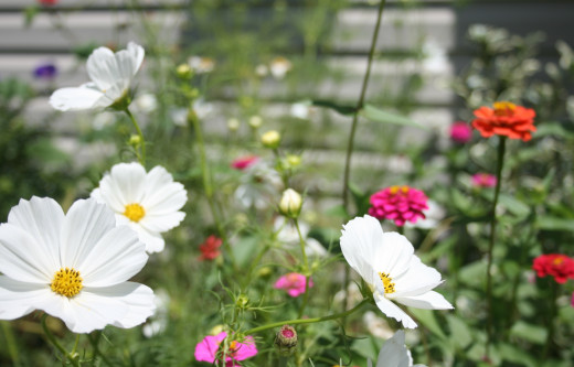 A variety of flowers grown from seed bloom in our front flowerbed.