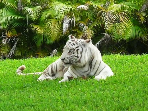 White Bengal Tiger at the Miami Zoo