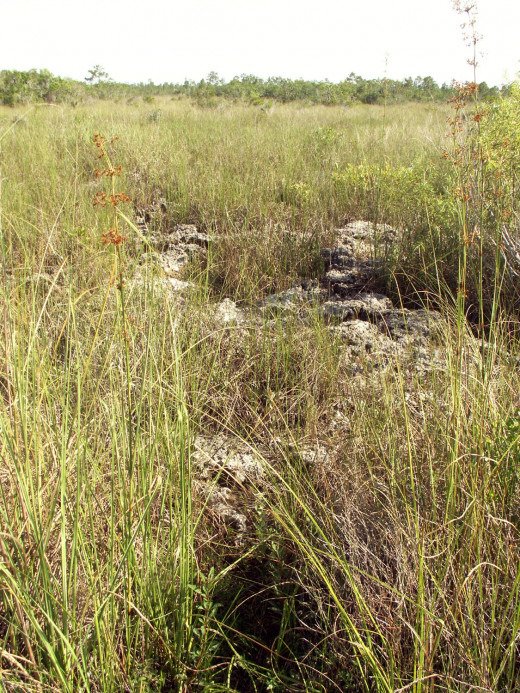 Limestone juts out of the ground amidst the sawgrass prairie in the Everglades