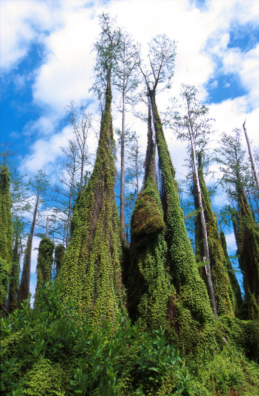 Cypress Climbing Ferns in the Everglades. These climbers help fires destroy otherwise indestructible trees because of their height.