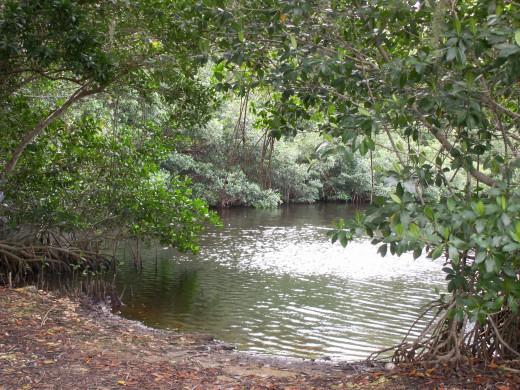 Mangrove trees near a tidal estuary in the Everglades National Park