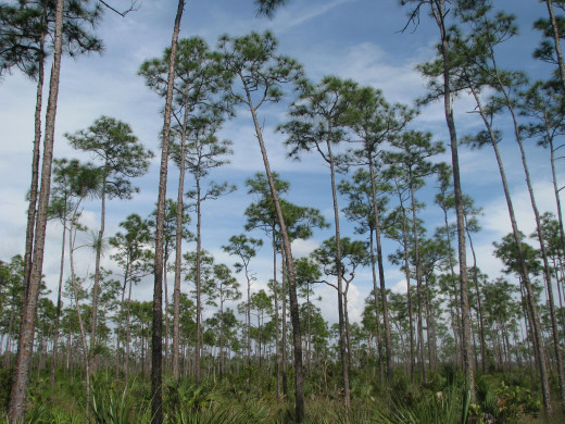 Pine trees in the Florida Everglades