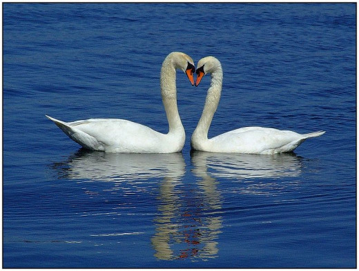 Swans in Germany