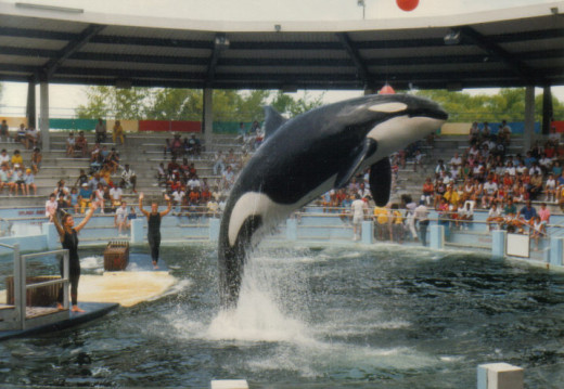 Lolila the Killer Whale in action at the Seaquarium in Miami, Florida.