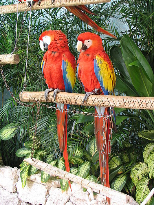 Scarlet macaws mate for life.