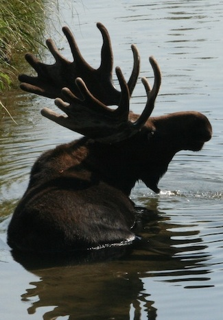 Some people think a moose bell helps water drip off a moose's head.