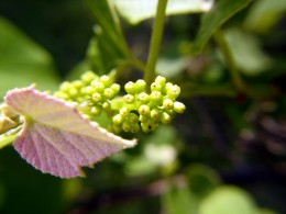 A young leaf sprouting above a grape cluster.
