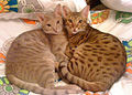 Read about ocicat breed on Wikepedia...Zekes combination of stripes and spots is a very much like the light colored cat on the left here.