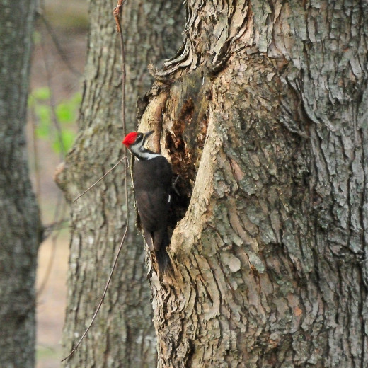 Pileated woodpecker seen on the trunk of a maple tree.
