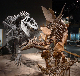 Fossils of a stegosaur (Stegosaurus stenops) and its babies being attacked by an allosaur (Allosaurus fragilis) at the Denver Museum of Science and Nature.