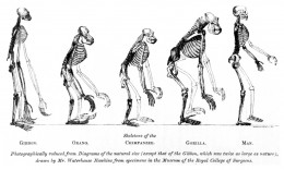 Illustration comparing the skeletons of various apes to that of man