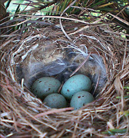 Common Redpoll eggs in a nest