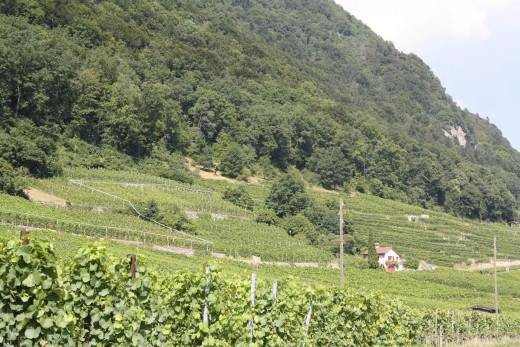 Grape Wine Yards Along Lake Biel - Switzerland