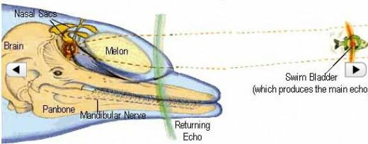 How Echolocation Works