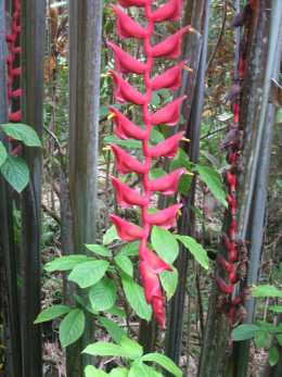 Red Wings (Heliconia Lgissima) flowers
