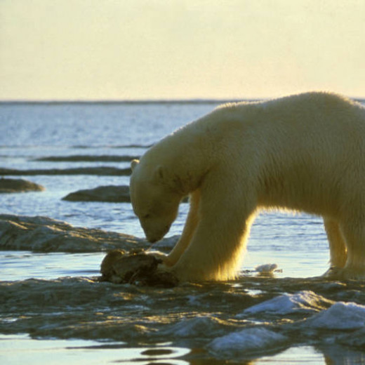 Scientists believe that polar bears can smell seals from 20 miles away.