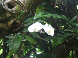 Epiphyte orchid growing in a tree - Hawaii Tropical Botanical Garden