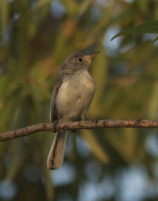 Immature Blue-gray Gnatcatcher