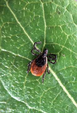 Ticks Bites:  The Consequences And Prevention