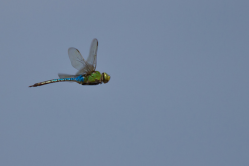 Dragonfly in Flight from