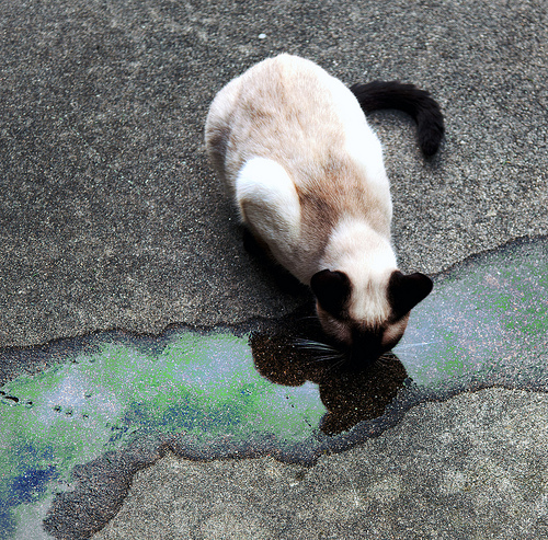 A notation with this picture indicated that it was staged to emphasize caution about spilling toxic chemicals.  The cat is not actually drinking antifreeze and was not harmed.