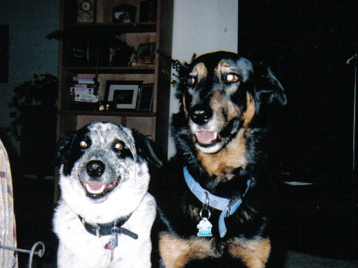 "CHARLEY AND GRACIE ADOPTED FROM THE ""HUMANE SOCIETY"". CHARLEY IS A SHEPHARD/ROTTIE MIX AND GRACIE IS A BORDER COLLIE/AUSSIE MIX."
