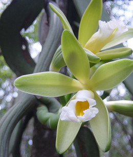 Vanilla chamissonis flower, native to South America.