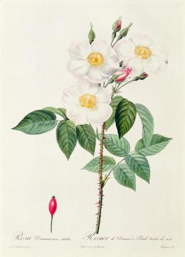Rosa damascena, one of the several parent varieties of modern hybrid roses.