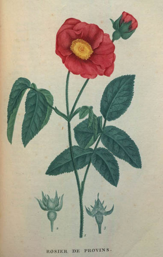 Rosa gallica, one of the ancestors of many modern hybrid roses.