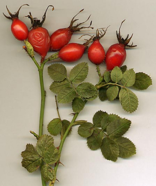 Mature rose hips and leaves from Rosa rubiginosa.
