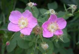 Rosa californica, one of the several native american wild roses.
