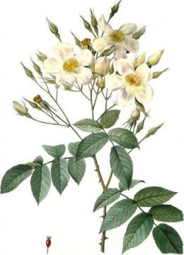 Rosa moschata, musk rose.