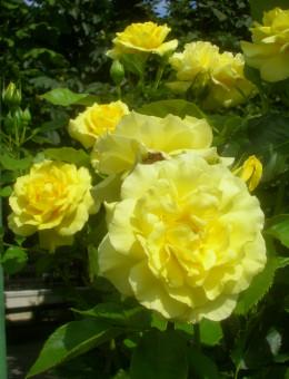 One cultivar of Rosa floribunda, in this case Sunsprite rose.