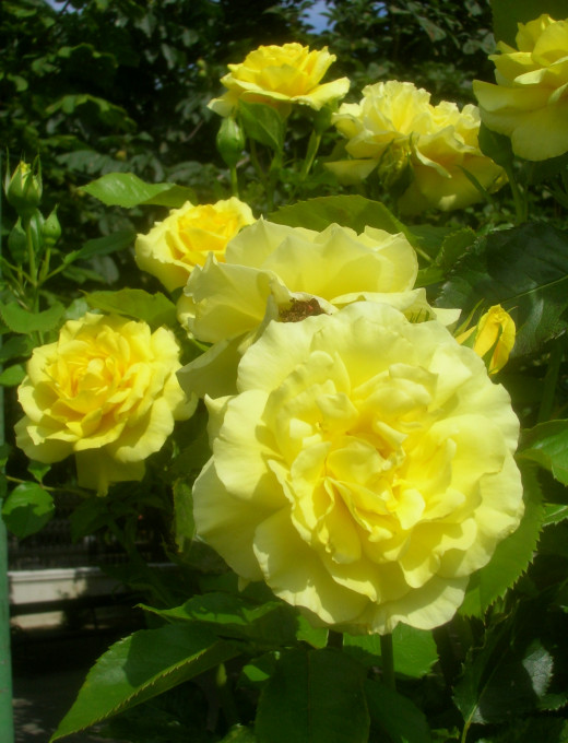 One cultivar of Rosa floribunda, in this case Sunsprite rose.