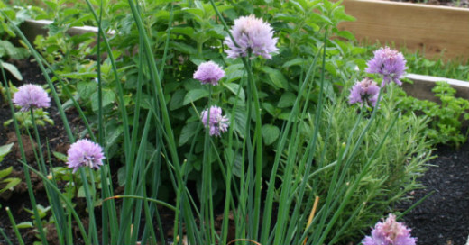Chives make a good addition to herb butter.