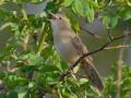 The Grasshopper Warbler { Birds of Europe}
