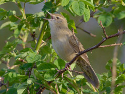 The Grasshopper Warbler { Birds of Europe}