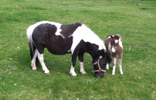 "Miniature Horses--Baby Stands Only 18"" Tall"