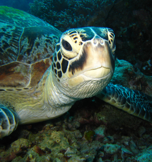 Green Turtle Photo by Henry and Tersia