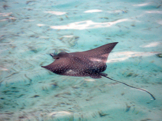 Eagle ray - Photo by Lyle Turner