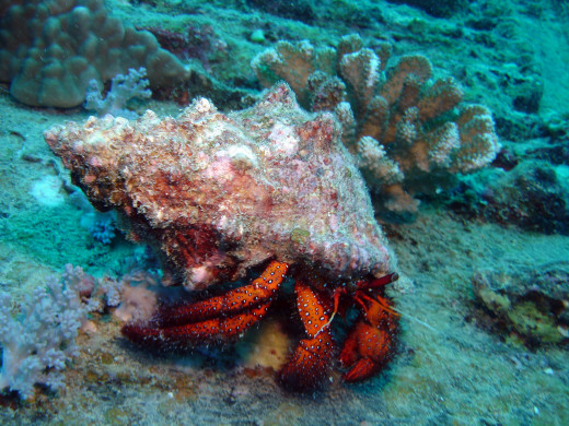 Hermit Crab Photo by Henry and Tersia