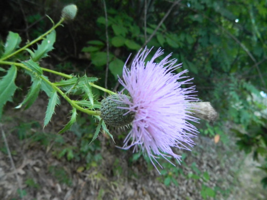 The Thistle is the Floral Symbol of Scotland. This one is right outside my house.
