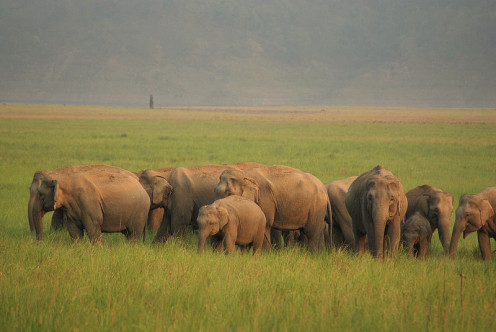 An elephant herd at Jim Corbett National Park.