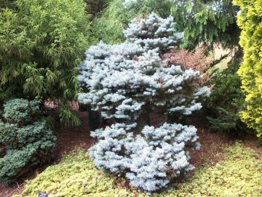 Dwarf Colorado Spruce (Picea pungens 'Glauca Globosa')