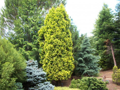 American Arborvitae Yellow Ribbon