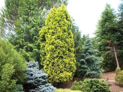 American Arborvitae Yellow Ribbon