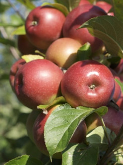 October is National Apple Month in the U.S.