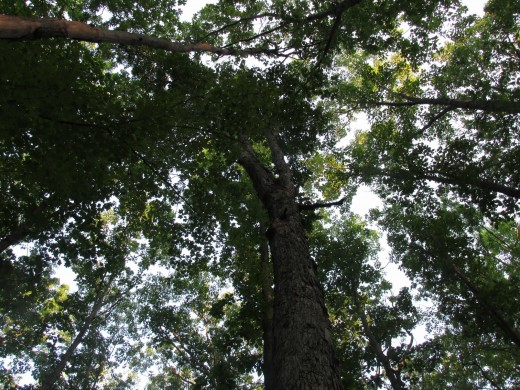 Look up into the dense oak canopy.