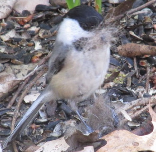 This little chickadee found some animal fur; just right for the soft interlining of its nest.  More chickadees!